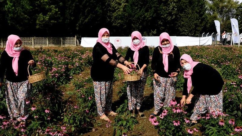 """Bursa'da kadın çiftçiler """"ekinezya"""" yetiştirmeye başladı"""