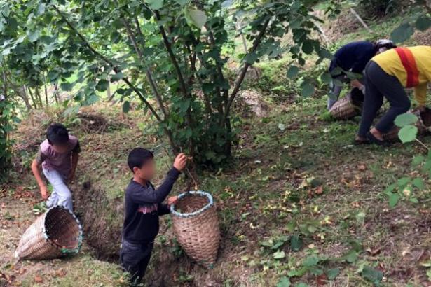 Fındık hasadında çocuk işçiliğin kaldırılması hedefleniyor