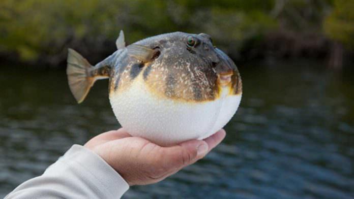 Balon Balığı Avlayana Para Ödülü Kazandıracak Teşvik