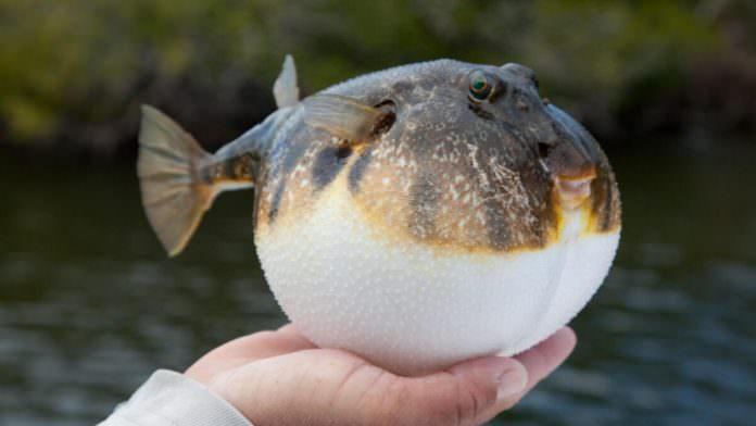 Balon Balıklarının Kanser Tedavisinde Kullanılan Zehrinin Gramı 1 Milyon Euro