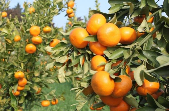 TAGEM tarafından mandarinde 2 çeşit geliştirildi