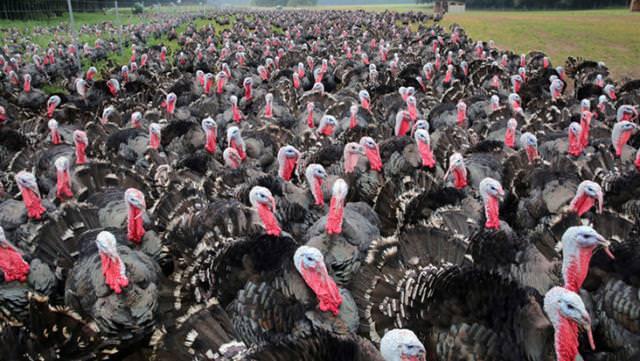 Koronavirüsten sonra şimdi de kuş gribi paniği: 62 bin hindi ve ördek itlaf edilecek